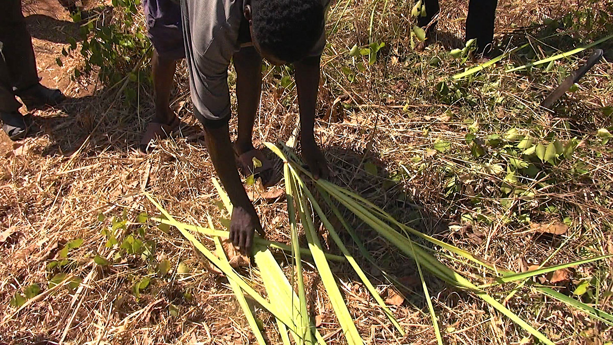 Palm harvesting  to do palm crosses at Masasi Village, Tanzania